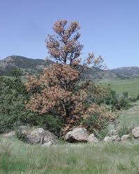 Pine Beetle Killed Tree