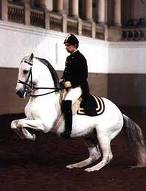 Classical Dressage, the Levade, a controlled collected rear